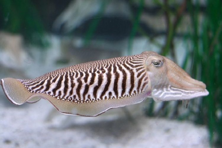 19242354 - closeup of a common cuttlefish sepia officinalis