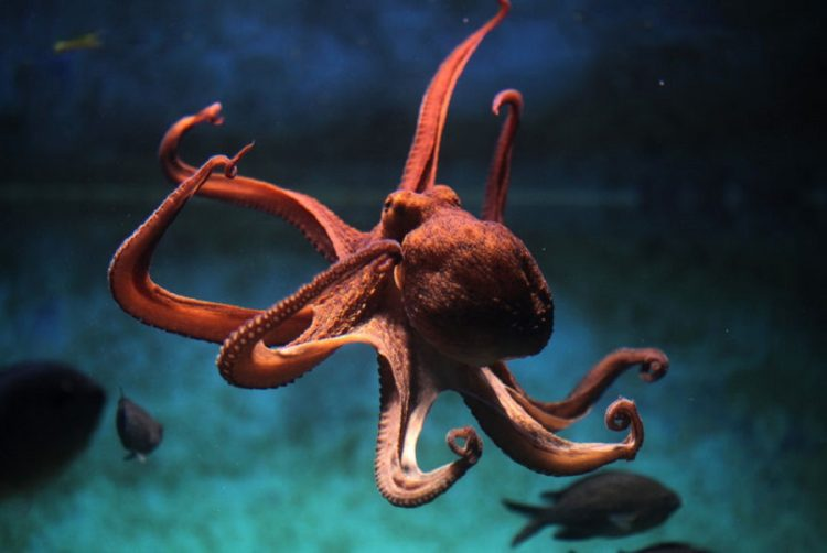 41676256 - common octopus (octopus vulgaris). wildlife animal.